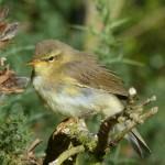 Willow Warbler Loch Spynie 10 Aug 2014 Bob Proctor