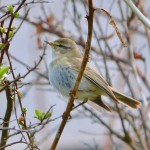 Willow Warbler Portknockie 10 May 2013 Lenny Simpson