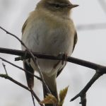 Willow Warbler Tomnamoon 20 Apr 2017 Mike Crutch