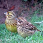 Yellowhammer Forres 24 Jun 2017 Alison Ritchie P