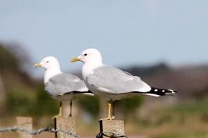 Common Gulls, Broadley 18 May 2012 (Martin Cook)
