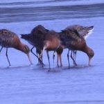 Black Tailed Godwit Findhorn Bay 21 Apr 2017 Gordon McMullins