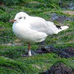 Black headed Gull Cullen 29 Aug 2017 Alison Ritchie