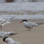 Common Tern Findhorn 16 Aug 2014 Richard Somers Cocks