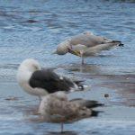 Herring Gull Lossie estuary 12 Sep 2017 David Main