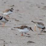 Sanderling Findhorn Bay 16 May 2014 Richard Somers Cocks 2