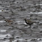 American or Pacific Golden Plover Findhorn Bay 31 Jul 2018 Gordon McMullins 1P2