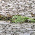 Golden Plover Findhorn Bay 10 Jul 2018 Richard Somers Cocks