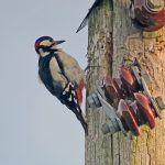 Great Spotted Woodpecker Lethen 28 Jun 2018 Jack Harrison