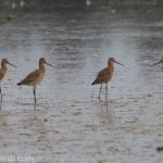 Black tailed Godwit Findhorn Bay 21 Aug 2018 Mike Crutch 2