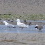 Glaucous Gull Findhorn Bay 5 Aug 2018 Richard Somers Cocks 1