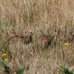 Grey Partridge Lossiemouth 10 Aug 2018 Allan Lawrence
