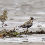 Pacific Golden Plover Findhorn Bay 13 Aug 2018 Richard Somers Cocks 2