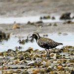 Pacific Golden Plover Findhorn Bay 5 Aug 2018 Gordon Biggs 2 P