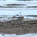 Curlew Sandpiper Findhorn Bay 15 Sept 2018 Gordon McMullins 1