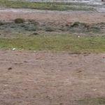 Mediterranean Gull Spey estuary 17 Sept 2018 Martin Cook