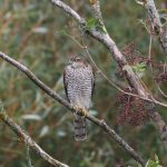Sparrowhawk Clochan 21 September 2018 Martin Cook