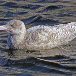 Glaucous Gull Burghead 5 Oct 2018 Jack Harrison