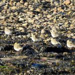 Golden Plovers Arthurs Point 19 Oct 2018 Alison Ritchie