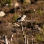 Great Grey Shrike Refouble 20 Oct 2018 Howard Moncrieff P