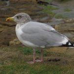Herring Gull argentatus Burghead 4 Oct 2018 Jack Harrison