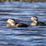 Long tailed Ducks Findhorn Bay 29 Oct 2018 Richard Somers Cocks