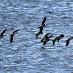 Long tailed Ducks Lossiemouth 21 Oct 2018 George McCrae 2