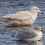 Glaucous Gull B Lossie estuary 2 Nov 2018 Richard Somers Cocks