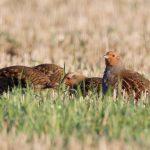 Grey Partridge Netherton Farm 18 Nov 2018 Richard Somers Cocks