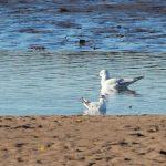 Little Gull Spey estuary 1 Nov 2018 Martin Cook