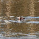 Long tailed Duck Dallachy 10 Nov 2018 Martin Cook
