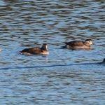 Long tailed Ducks Dallachy 1 Nov 2018 Martin Cook