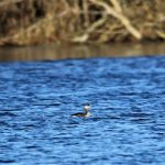 Red necked Grebe Loch Spynie 27 Nov 2018 George McCrae