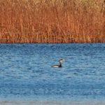 Red necked Grebe Loch Spynie 27 November 2018 Martin Cook