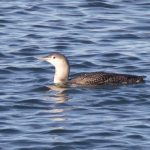 Red throated Diver Burghead Bay 8 Nov 2018 Richard Somers Cocks