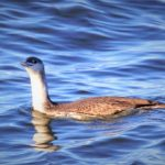 Red throated Diver Lossiemouth 10 Nov 2018 Henry Farquhar
